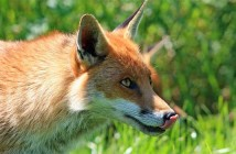 Ein anschleichender Rotfuchs, eine der wenigen Säugetiere, die zu Irlands Fauna zählen.